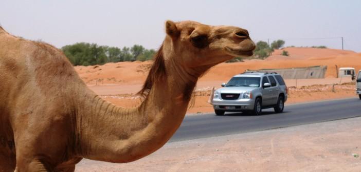 Ein Kamel überquert die Straße in Ras al Khaimah